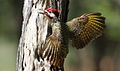 Bennett's Woodpecker, Campethera bennettii at Marakele National Park, Limpopo, South Africa ( male displaying) (15658346174).jpg