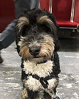 Bernedoodle - The complete information and online sale with