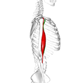 Biceps brachii muscle09.png