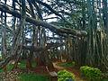 Big Banyan Tree at Bangalore.jpg