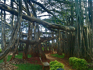 Banyan - Banyan with characteristic adventitious prop roots