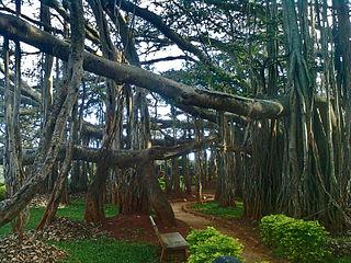 Banyan subgenus of plants, the banyans