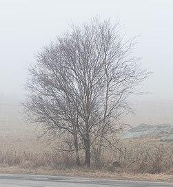 Birches in fog in Lysekil.jpg