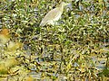 Birds at Nawabganj bird sanctuary, Unnao 02.JPG