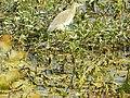 Birds at Nawabganj bird sanctuary, Unnao 02.JPG
