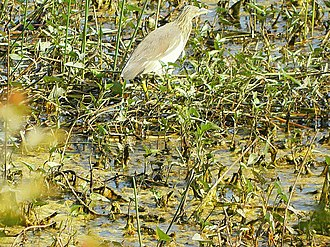 Nawabganj Bird Sanctuary - Image: Birds at Nawabganj bird sanctuary, Unnao 02