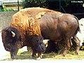 Bison bison 99.jpg