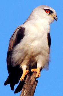 Black-Winged Kite Elanus caeruleus.jpg