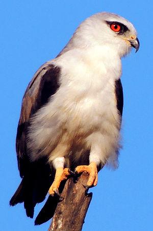 Black-winged kite - E. c. vociferus