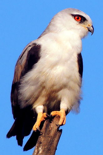 Black-winged kite - E. c. vociferus