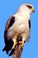 Black-Winged Kite Elanus caeruleus.jpg