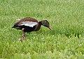 Black-bellied Whistling Duck (33975430338).jpg