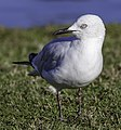 Black-billed gull, Lake Victoria, Christchurch.jpg
