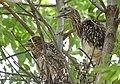 Black-crowned Night-Heron young (48432088316).jpg