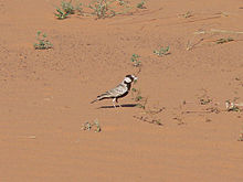Black-crowned Sparrow Lark Mauritania.jpg