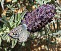 Black-eyed Blue. Glaucopsyche melanops. - Flickr - gailhampshire (9).jpg