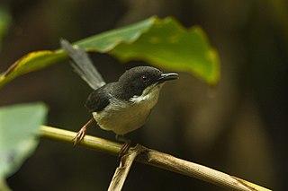 Black-headed apalis species of bird