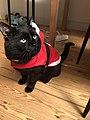 Black Cat Borain Christmas in 2018.jpg