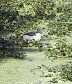 Black Crowned Night Heron (4178202452).jpg