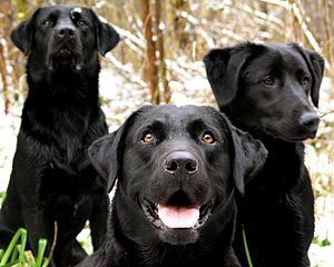 Three black Labrador Retrievers.