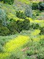 Black Mustard 2 (4576020051).jpg