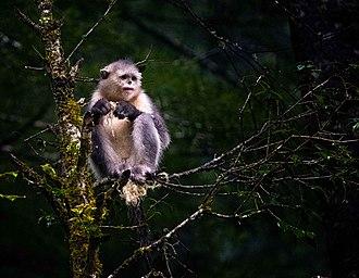 Black snub-nosed monkey - Black snub-nosed monkey. Photo taken by Rod Waddington.