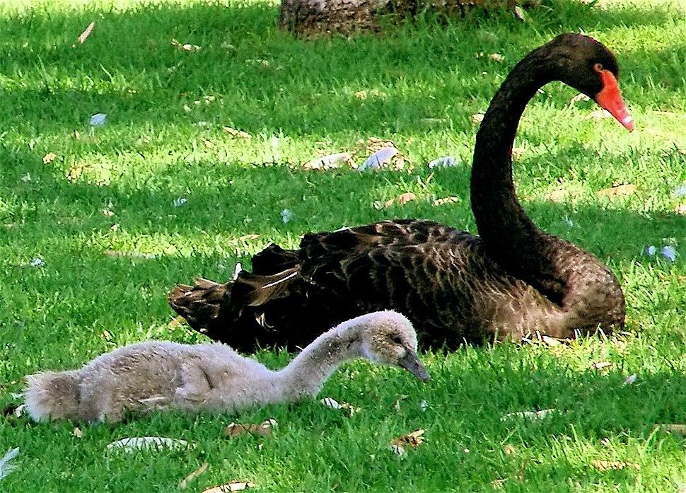 Black Swan and Cygnet