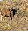 Black Wildebeest (Connochaetes gnou) (32549364075).jpg