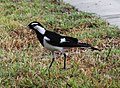 Black and White Bird 2 (30439252983).jpg