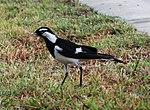 Black and White Bird 2 (30439252983).jpg