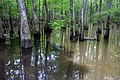 Blackwater and muddy water, Big Thicket NP. Jack Gore Baygall Unit, Hardin Co. TX; 3 Apr 2020.jpg