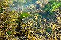 Bladder wrack and gut weed in Sämstad harbor - crop 1.jpg