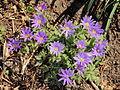 Blauwe anemoon (Anemone blanda).JPG