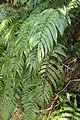 Blechnum novae-zelandiae kz6.jpg