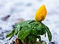 Bloemknop van een winterakoniet (Eranthis hyemalis) in smeltende sneeuw 16-02-2021. (d.j.b). 01.jpg