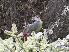 Blood Pheasant.jpg