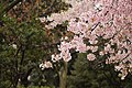 Blossom-ueno-park (Unsplash).jpg