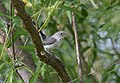 Blue-gray Gnatcatcher (juvenile) (35485104121).jpg