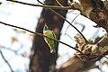 Blue-throated Barbet at Chitwan 01.jpg
