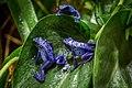 Blue Frogs (231891995).jpeg