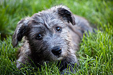 Glen of imaal terrier wikipedia blue brindle glen of imaal terrier puppy thecheapjerseys