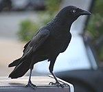 Blue eyed Crow (30859806662).jpg