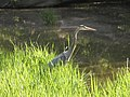 Blue heron along the towpath.jpg