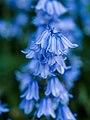 Bluebells (9059001727).jpg
