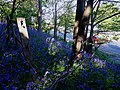 Bluebells and trunk road - geograph.org.uk - 1278225.jpg