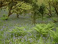 Bluebells in Woodland, near Bucks Cross - geograph.org.uk - 417876.jpg