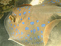 Bluespotted ribbontail ray (Taeniura lymma), in the Red Sea, Gulf of Eilat, Israel (3)..jpg