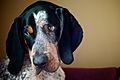 Bluetick Coonhound.jpg