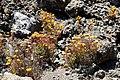 Blumen zwischen Lavagestein im Nationalpark Teide auf Teneriffa, Spanien (48225205061).jpg