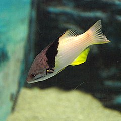 Bodianus mesothorax by OpenCage.jpg
